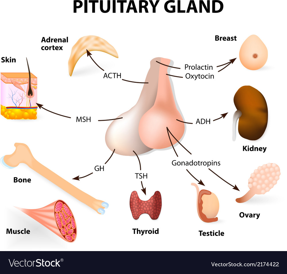 Pituitary hormone vector | Price: 1 Credit (USD $1)