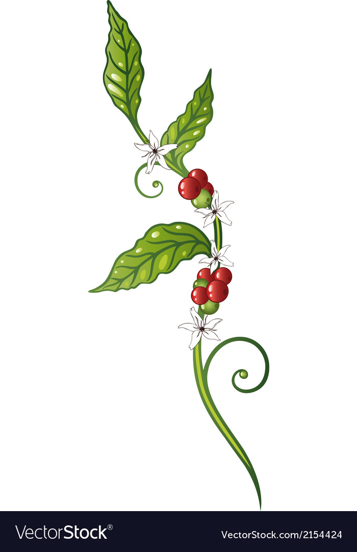 Coffee plant vector | Price: 1 Credit (USD $1)