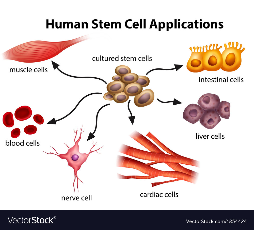 Human stem cell applications vector