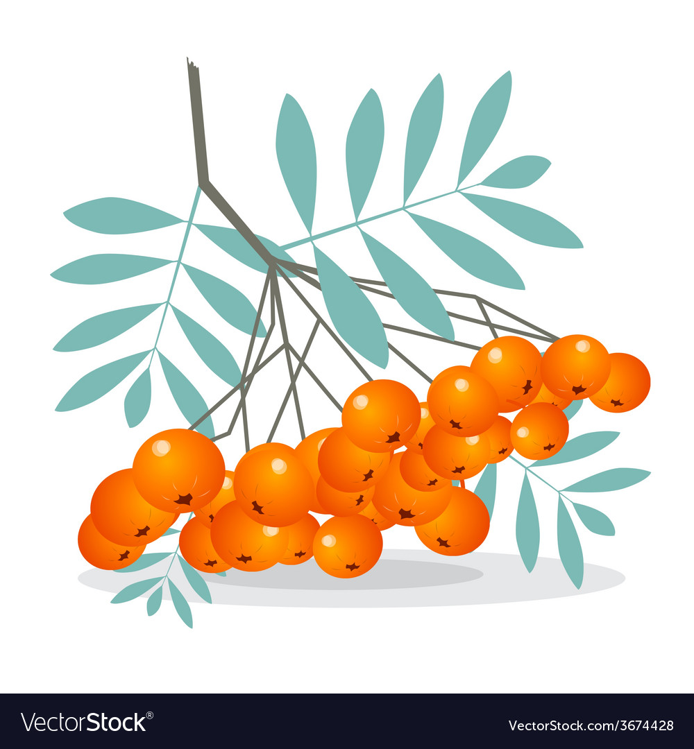 Rowan berries isolated on white background vector | Price: 1 Credit (USD $1)