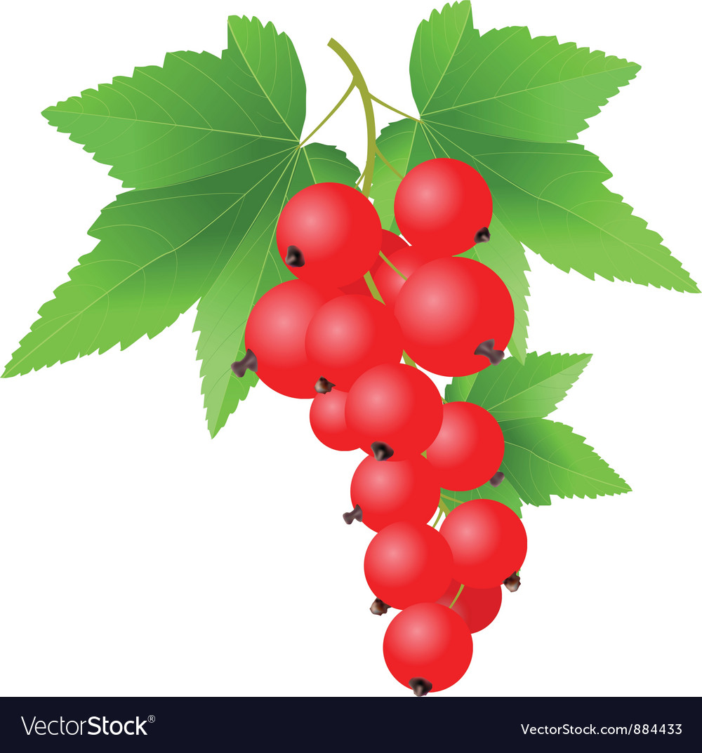Red currant vector | Price: 1 Credit (USD $1)