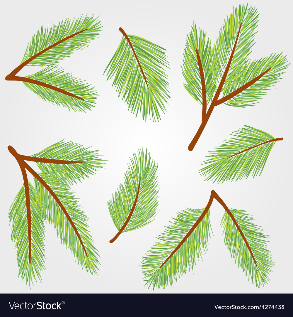 Spruce twigs vector | Price: 1 Credit (USD $1)