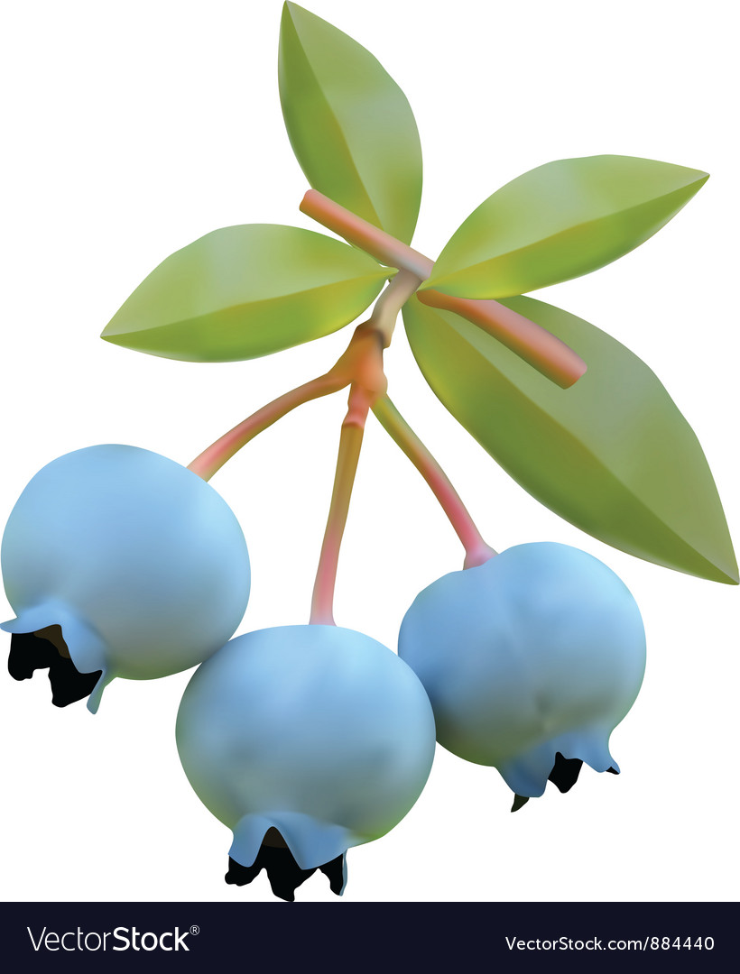 Blueberry on branches vector | Price: 1 Credit (USD $1)