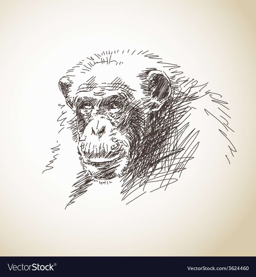 Sketch of chimpanzee head vector | Price: 1 Credit (USD $1)