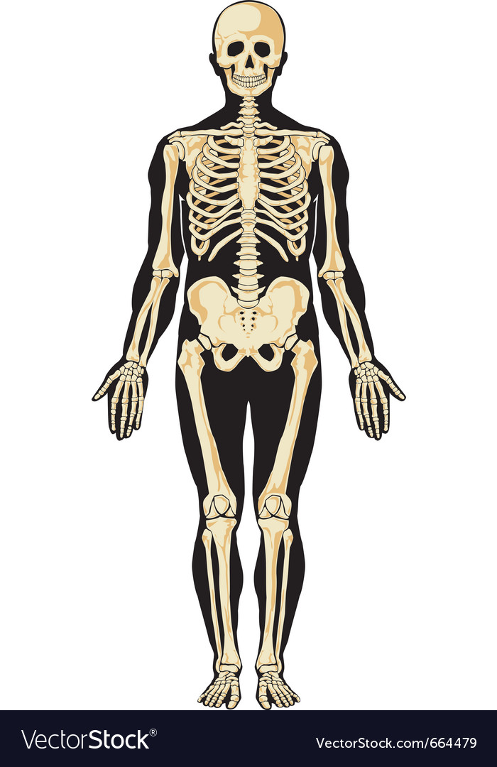 Skeleton layers vector | Price: 3 Credit (USD $3)