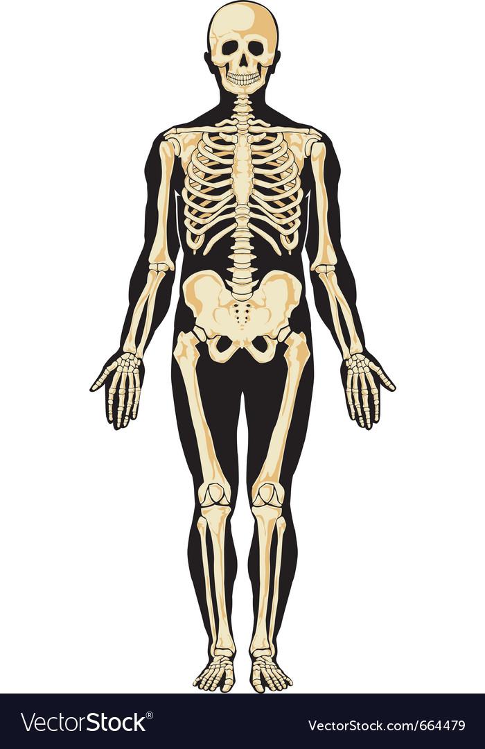 Skeleton layers vector | Price: 3 Credit (USD $3)