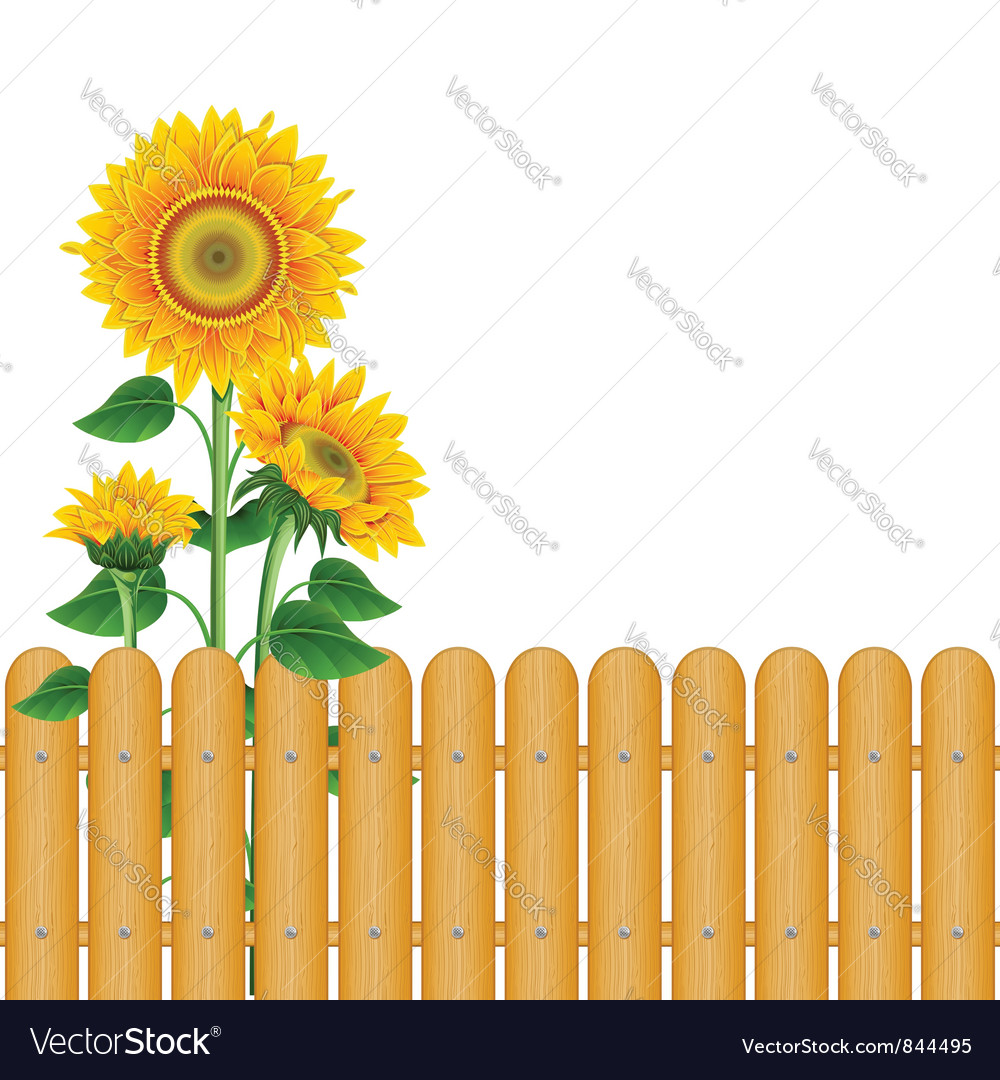 Sunflowers vector | Price: 3 Credit (USD $3)