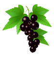 Black currant vector