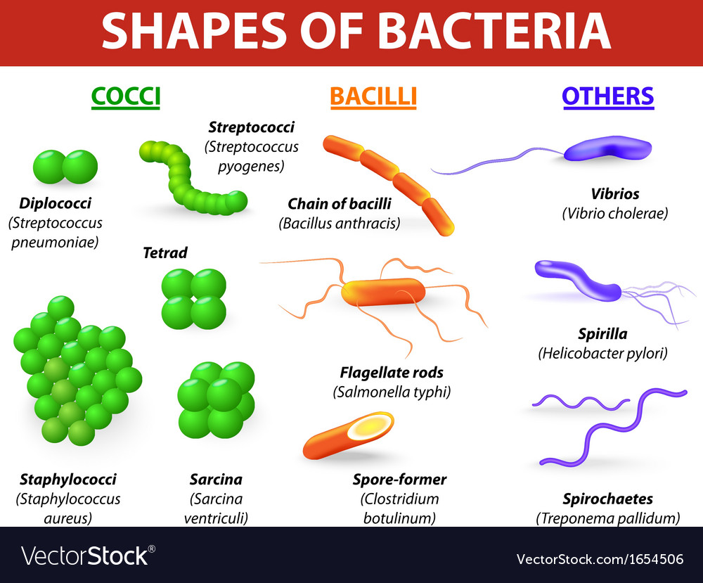 Types of bacteria vector | Price: 1 Credit (USD $1)