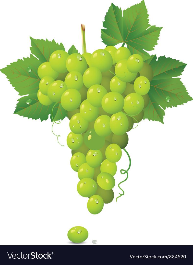 White grapes vector | Price: 1 Credit (USD $1)