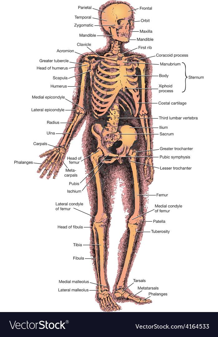 Skeleton diagram vector | Price: 1 Credit (USD $1)