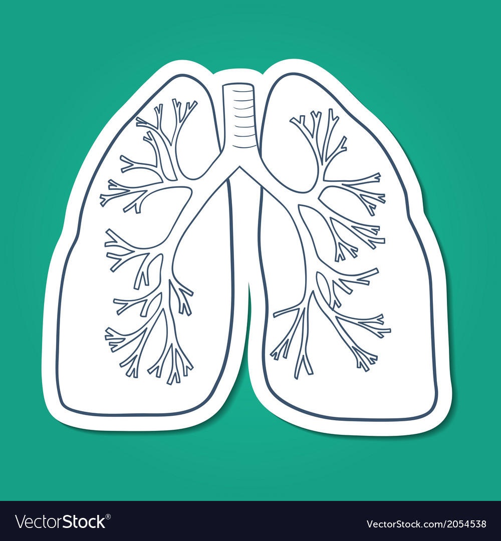 Anatomical lungs human organ vector | Price: 1 Credit (USD $1)