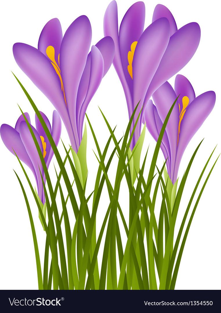 Realistic purple crocus vector | Price: 1 Credit (USD $1)