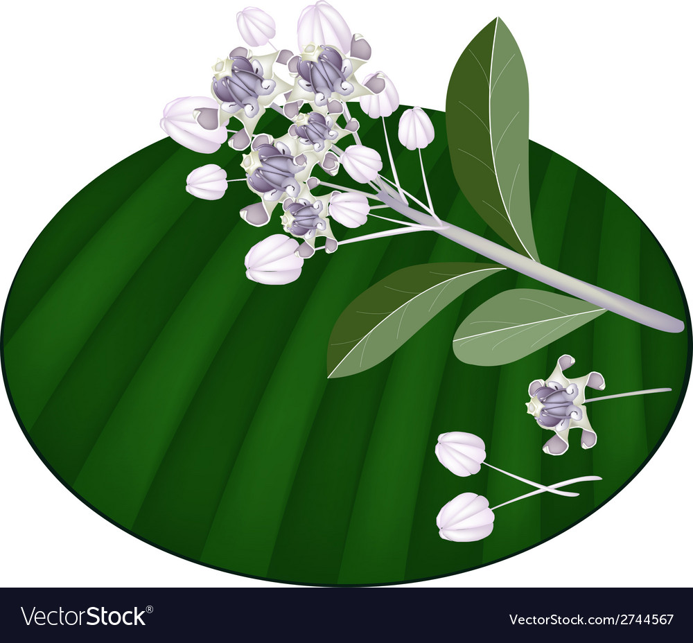 Fresh calotropis gigantea flowers on banana leaf vector | Price: 1 Credit (USD $1)