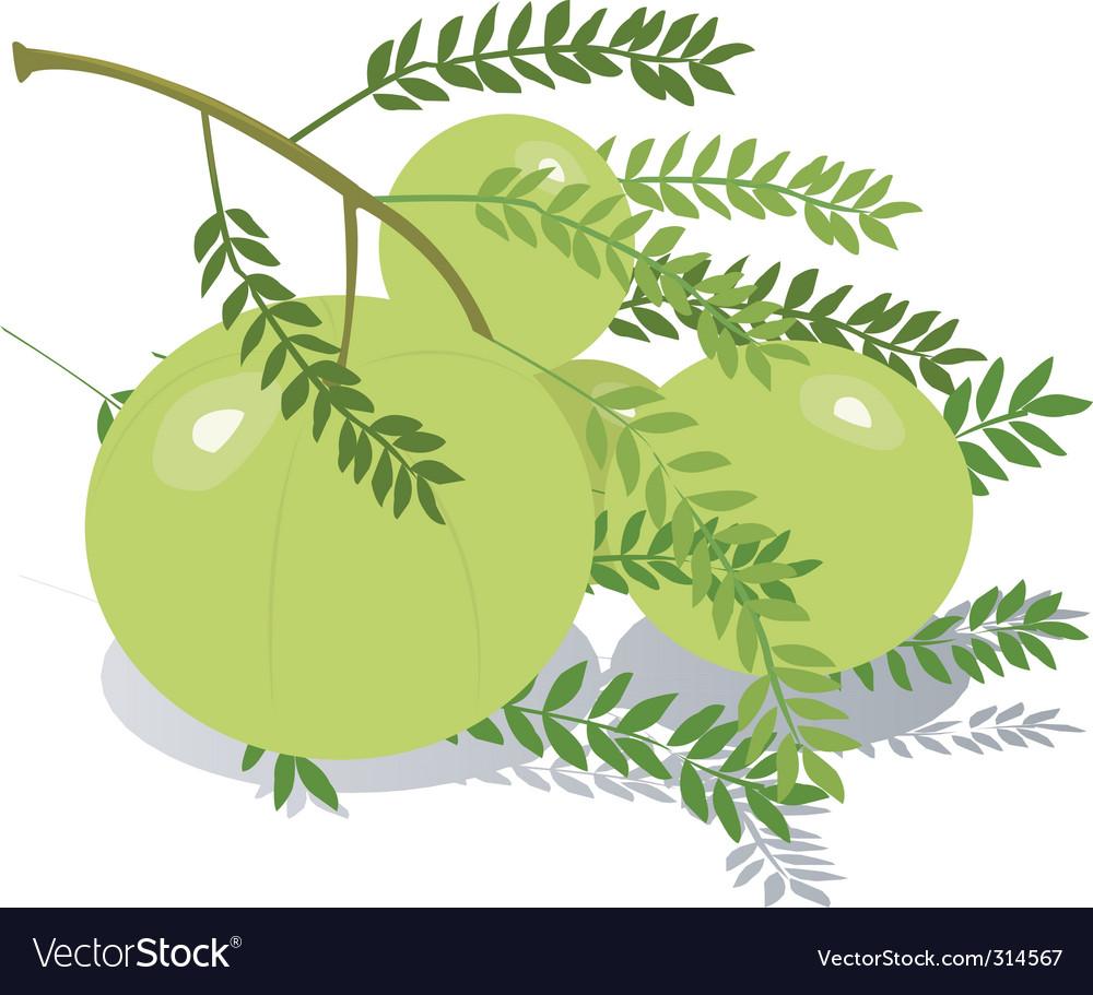 Gooseberry vector | Price: 1 Credit (USD $1)