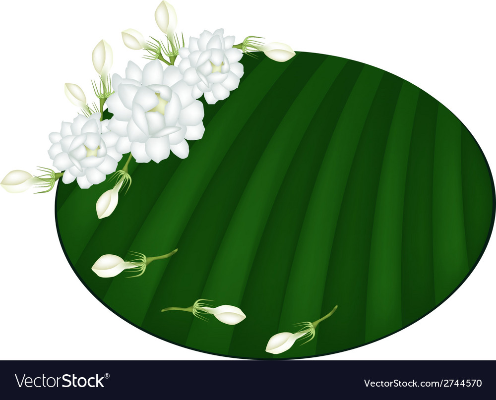 Fresh jasmine flowers on green banana leaf vector | Price: 1 Credit (USD $1)