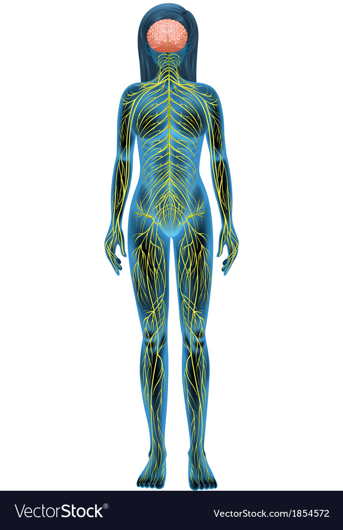 Human nervous system vector | Price: 1 Credit (USD $1)