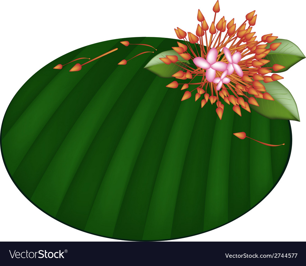 Beautiful red ixora flowers on banana leaf vector | Price: 1 Credit (USD $1)