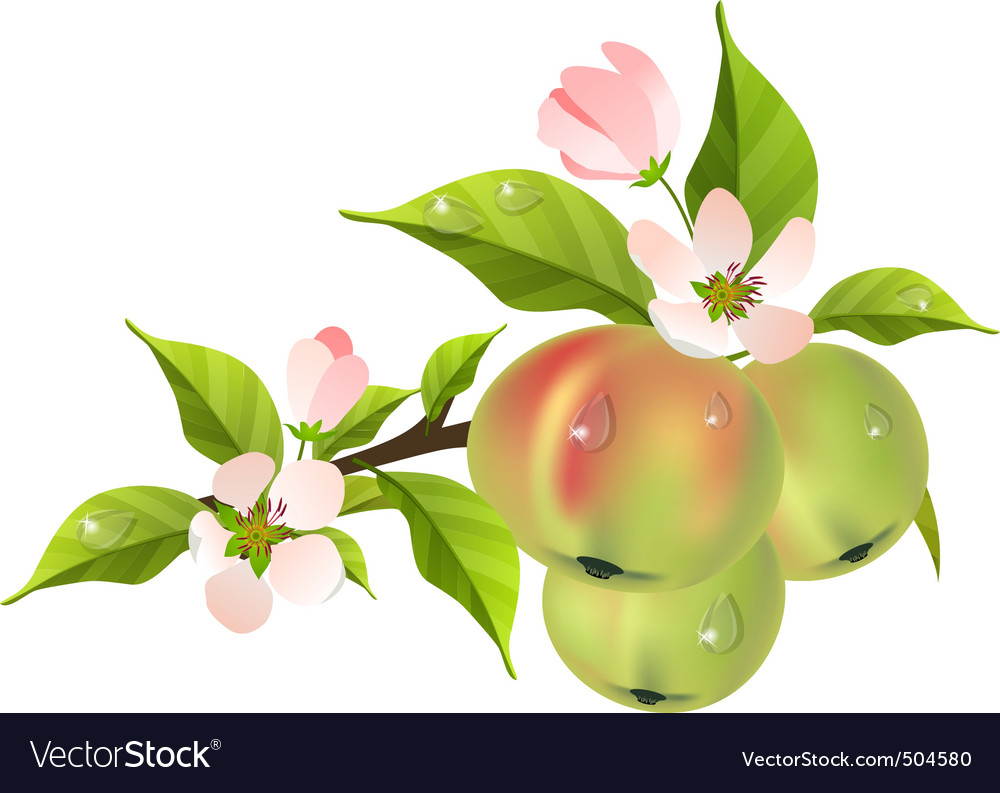 Apple tree branch in bloom vector | Price: 3 Credit (USD $3)