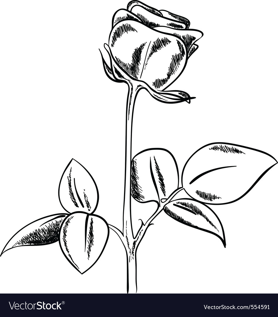 Black sketch of rose on white background vector | Price: 1 Credit (USD $1)