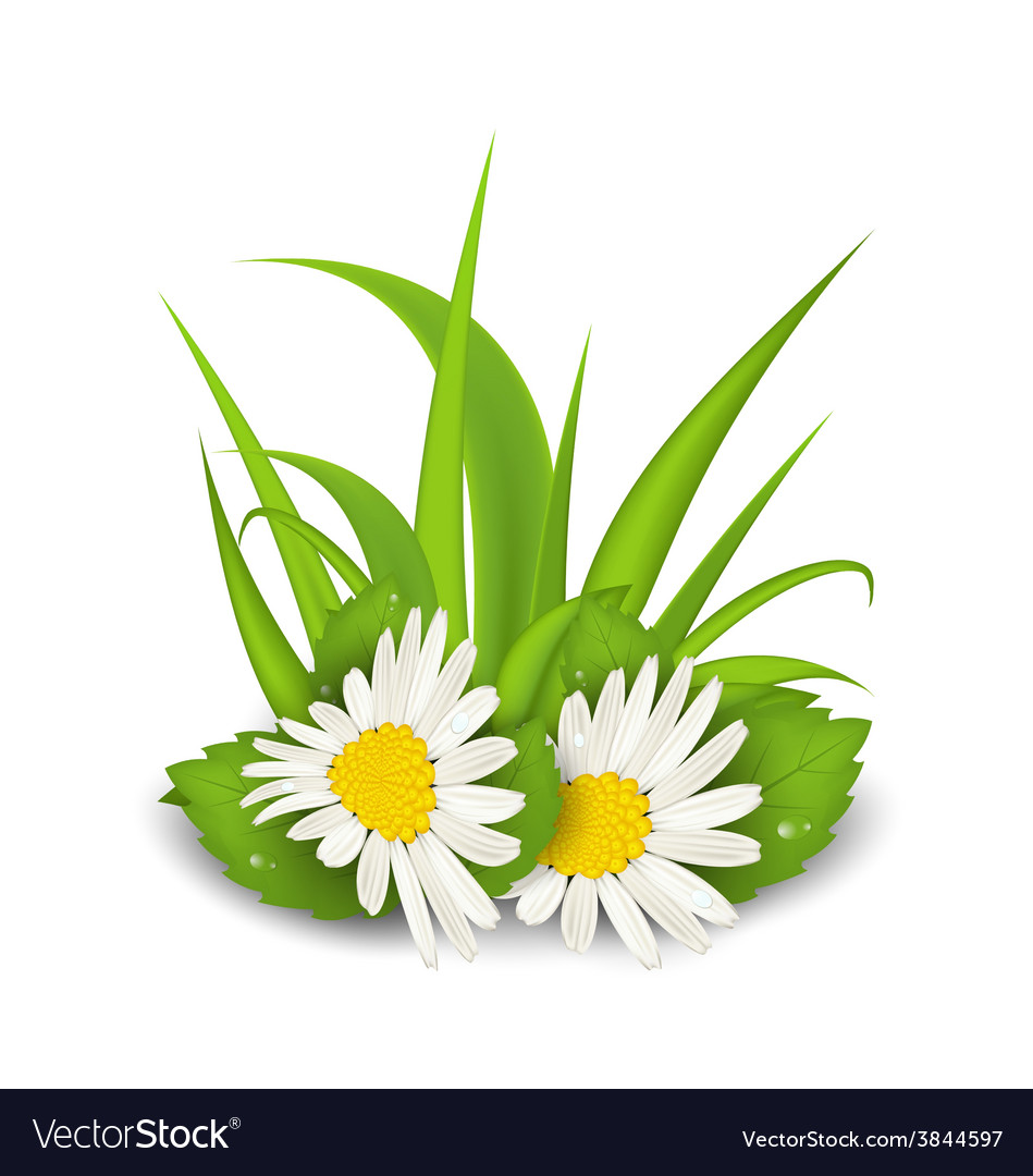 Camomile flowers with grass on white background - vector | Price: 1 Credit (USD $1)