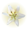 Lily bud vector