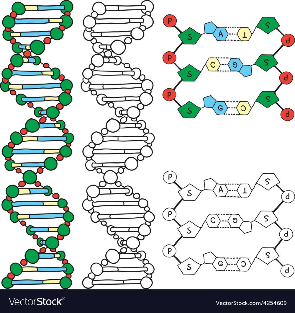 Dna - helix molecule model vector | Price: 1 Credit (USD $1)