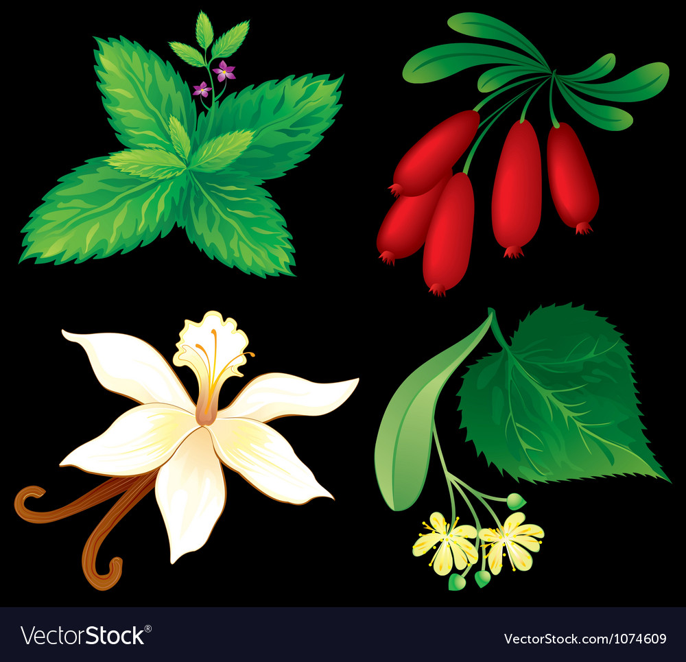 Set of aromatic plants vector | Price: 1 Credit (USD $1)