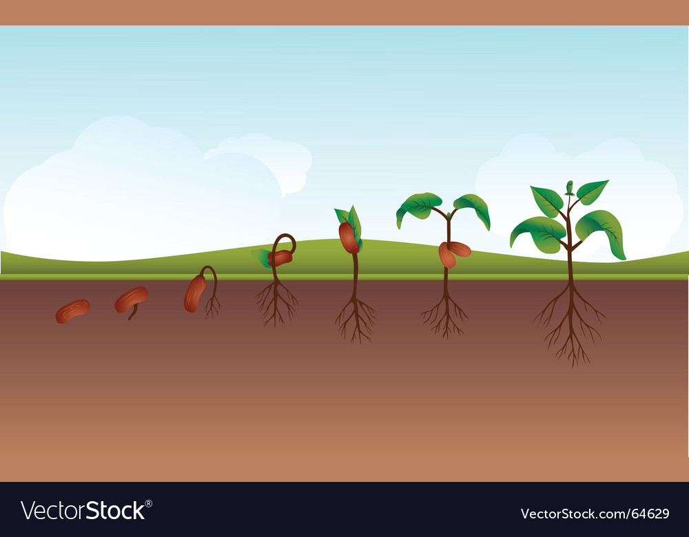 Seeding growing process vector | Price: 1 Credit (USD $1)