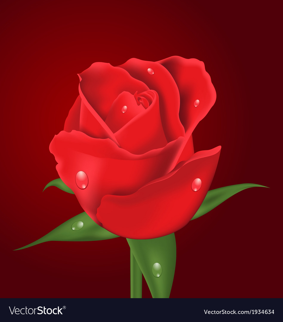 Close-up beautiful realistic rose on red vector | Price: 1 Credit (USD $1)