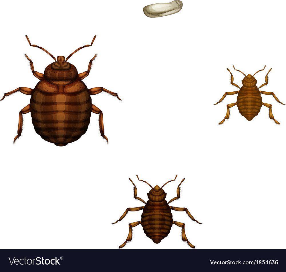Bed bug life cycle vector | Price: 1 Credit (USD $1)