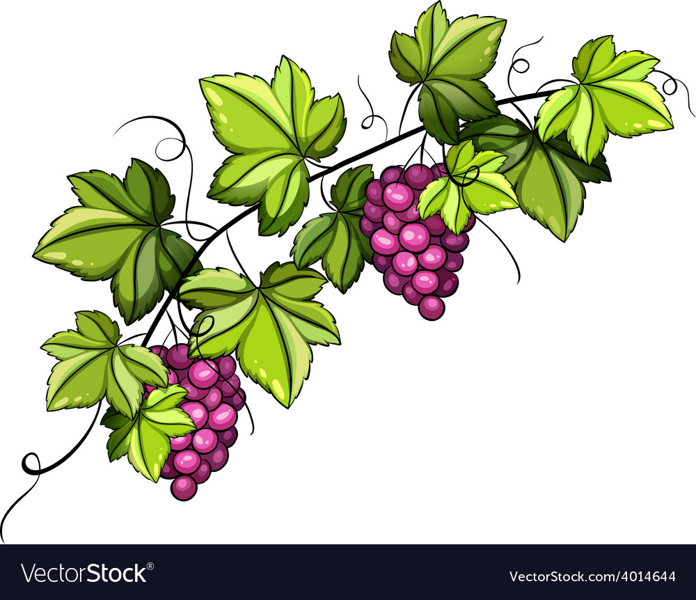 A grapevine vector | Price: 1 Credit (USD $1)
