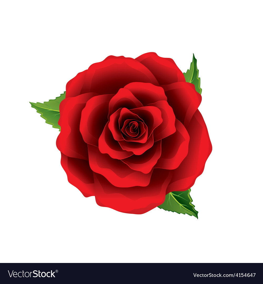 Red rose flower top view isolated on white vector | Price: 3 Credit (USD $3)