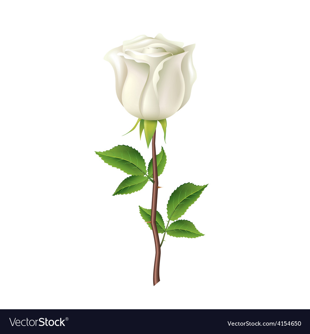 White rose isolated on white vector | Price: 3 Credit (USD $3)
