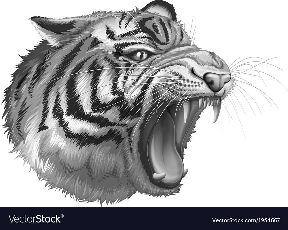 A grey tiger roaring vector   Price: 3 Credit (USD $3)