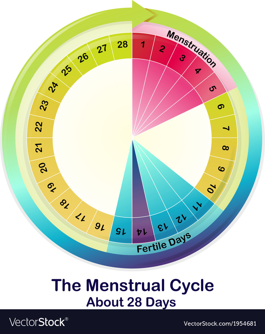 The menstrual cycle vector | Price: 1 Credit (USD $1)