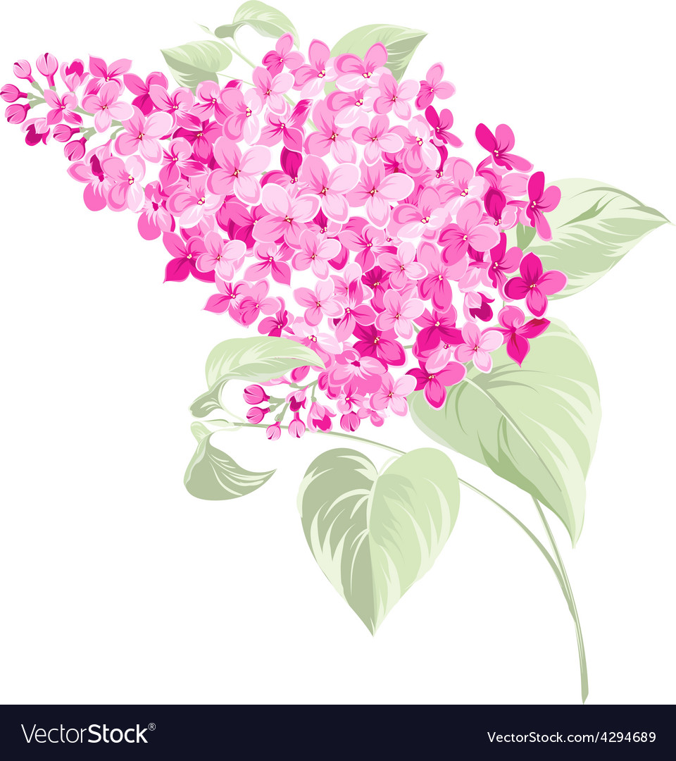Spring syringa flowers background vector