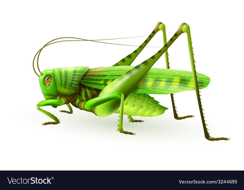 Grasshopper realistic isolated vector | Price: 1 Credit (USD $1)