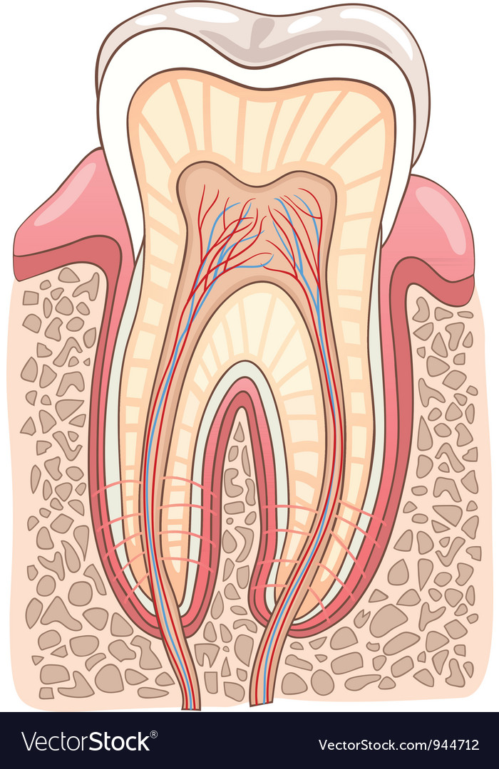 Tooth section medical vector | Price: 1 Credit (USD $1)