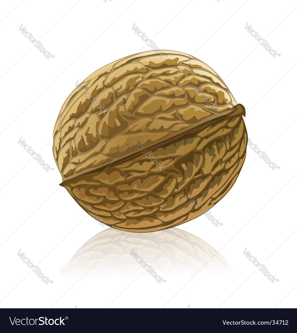 Walnut fruit isolated vector | Price: 1 Credit (USD $1)