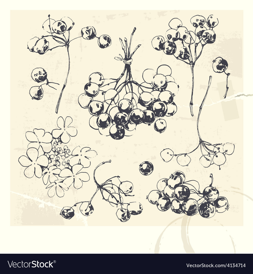 Drawn of guelder rose vector | Price: 1 Credit (USD $1)