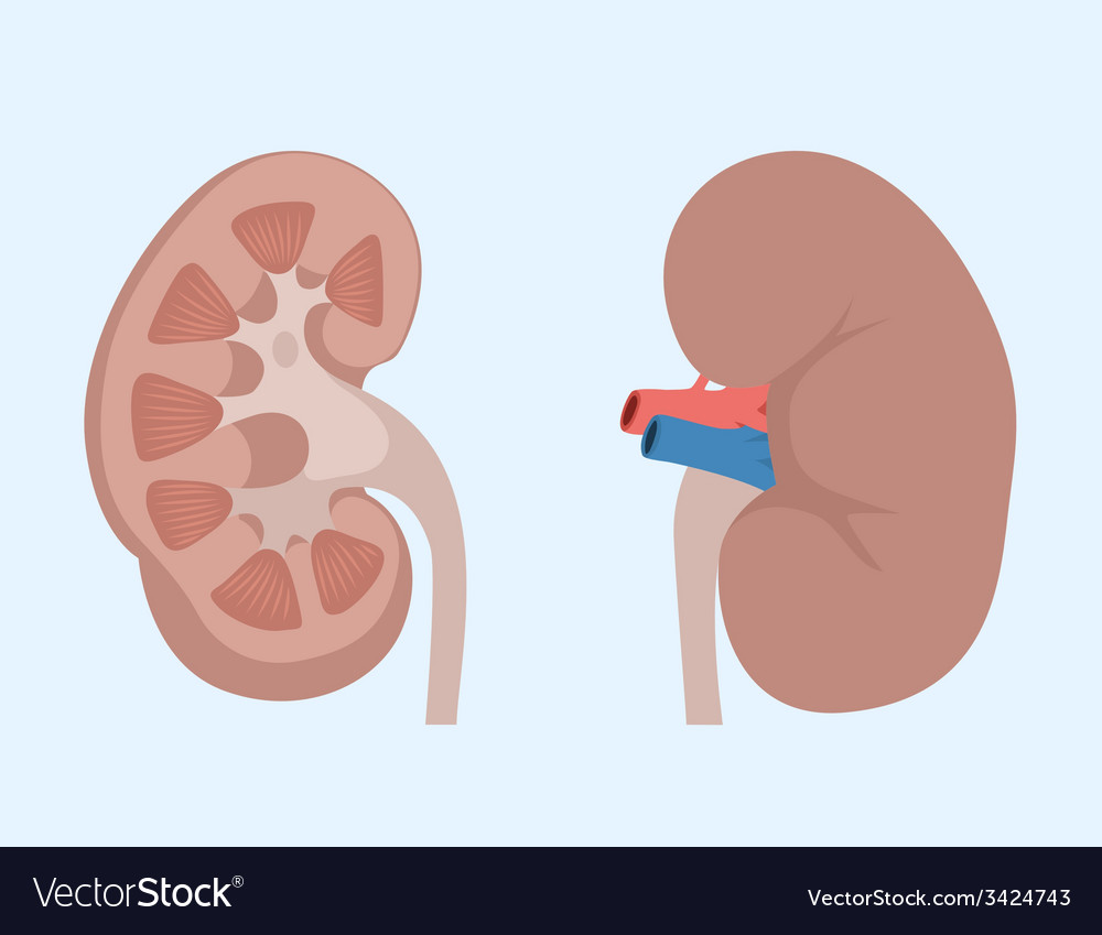 Kidneys vector | Price: 1 Credit (USD $1)