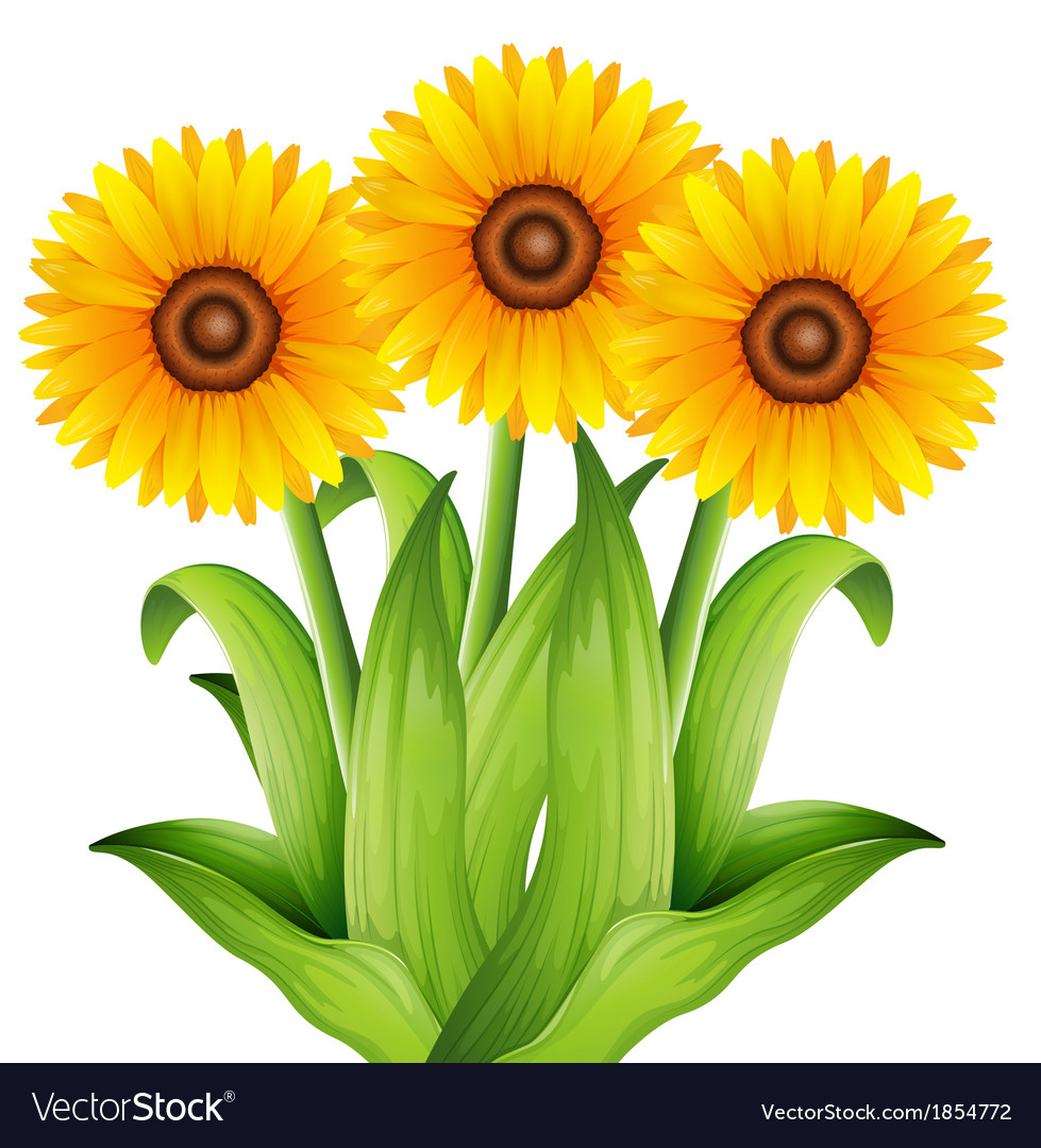 Sunflower vector | Price: 1 Credit (USD $1)