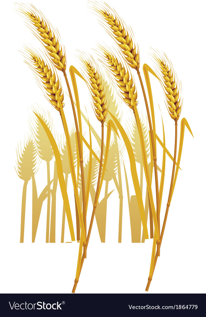 Ripe yellow wheat ears vector | Price: 1 Credit (USD $1)