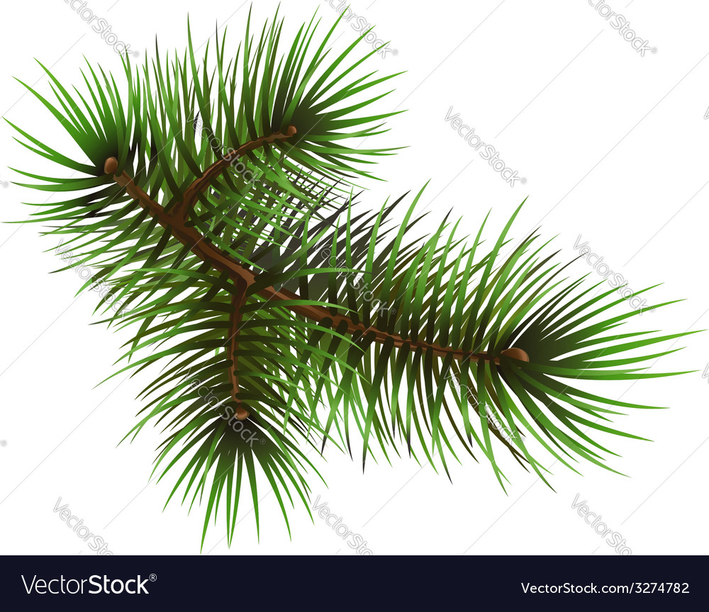 Pine branche vector | Price: 1 Credit (USD $1)