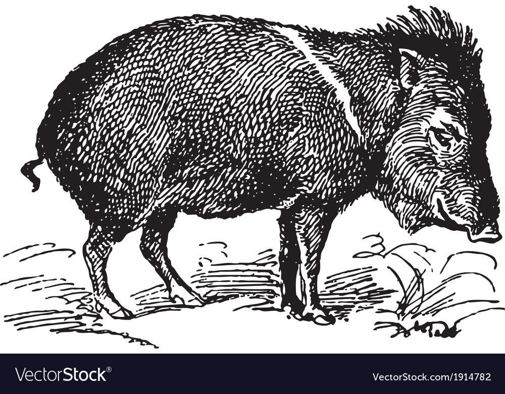 Wild pig vector | Price: 3 Credit (USD $3)