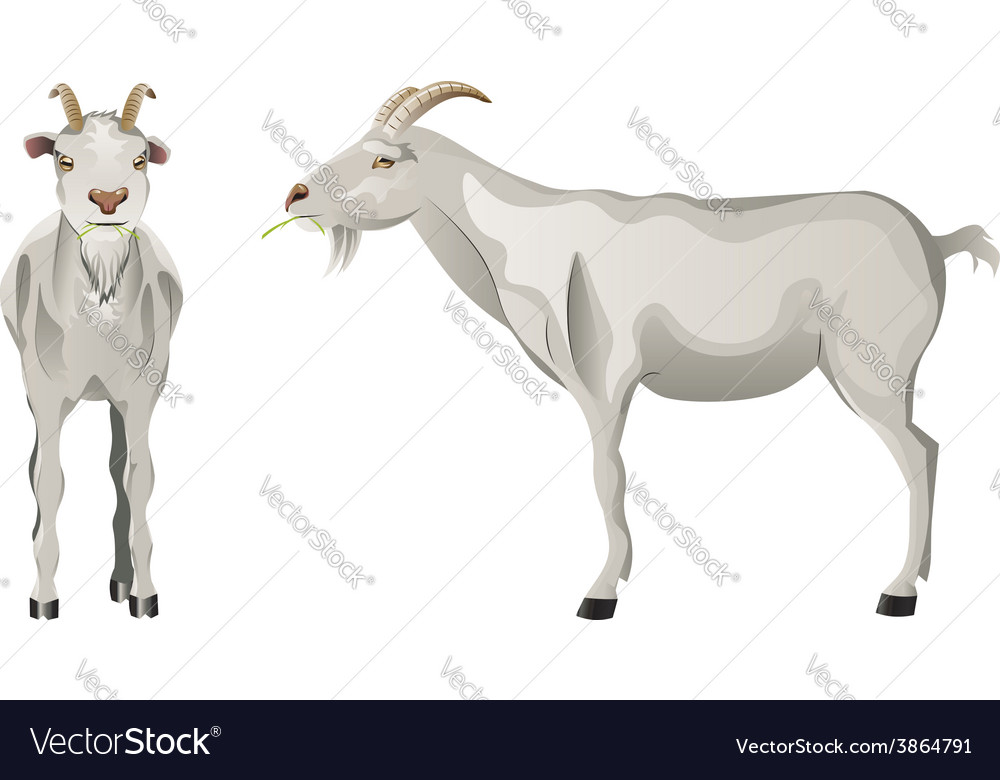 White goat vector | Price: 1 Credit (USD $1)