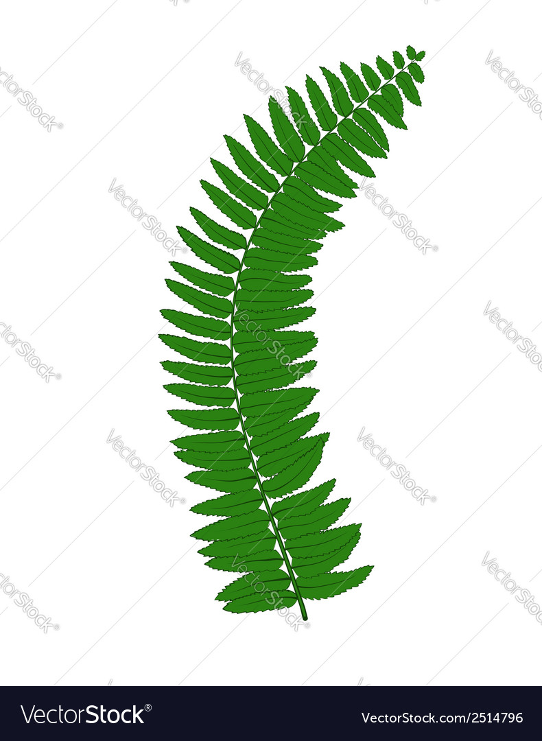 Fern leaves isolated on white background vector | Price: 1 Credit (USD $1)