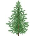 Christmas green spruce fir tree isolated vector