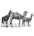 Wild camels vector